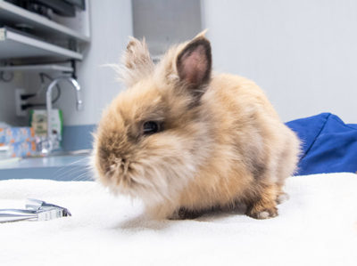 rabbit on exam table
